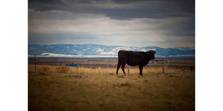 Montana Wagyu Cattle Company